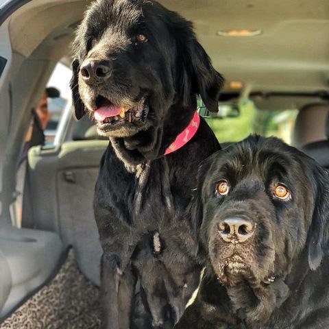 Gigi & Presley, Bonded pair Newfoundland dogs needing rescue/adoption