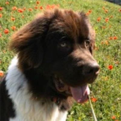 Cooper, Old West Newfoundland Club Rescue dog - 2020