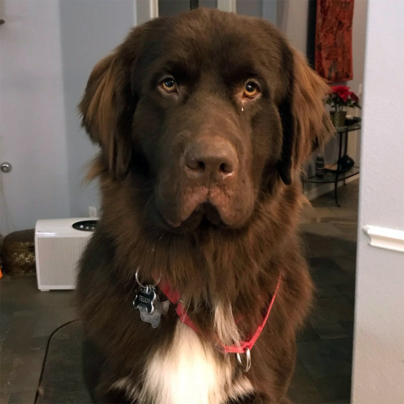 Teddy, Male Newfoundland up for adoption (OWNCR)